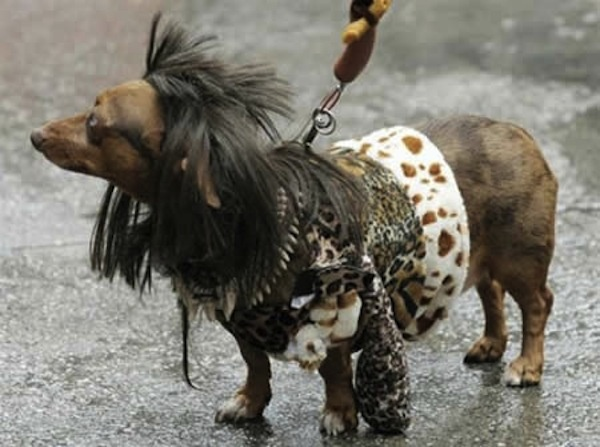 Clothes Dachshunds Wearing