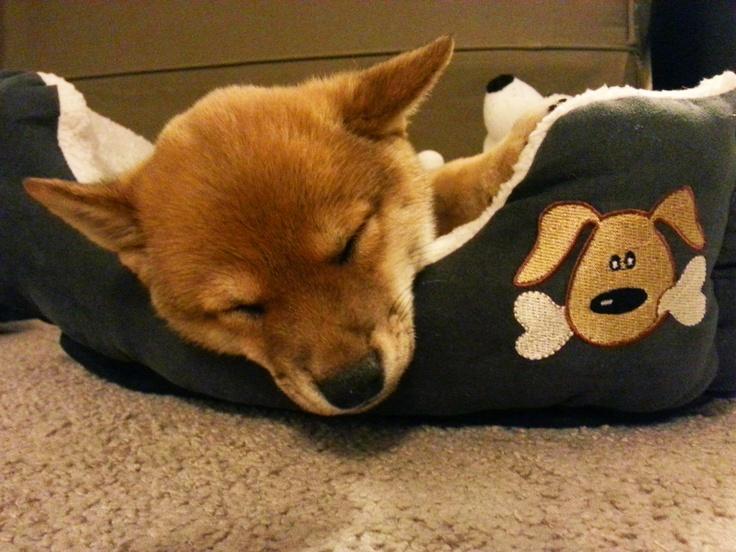 Husky Shiba Adopt Inu Mix