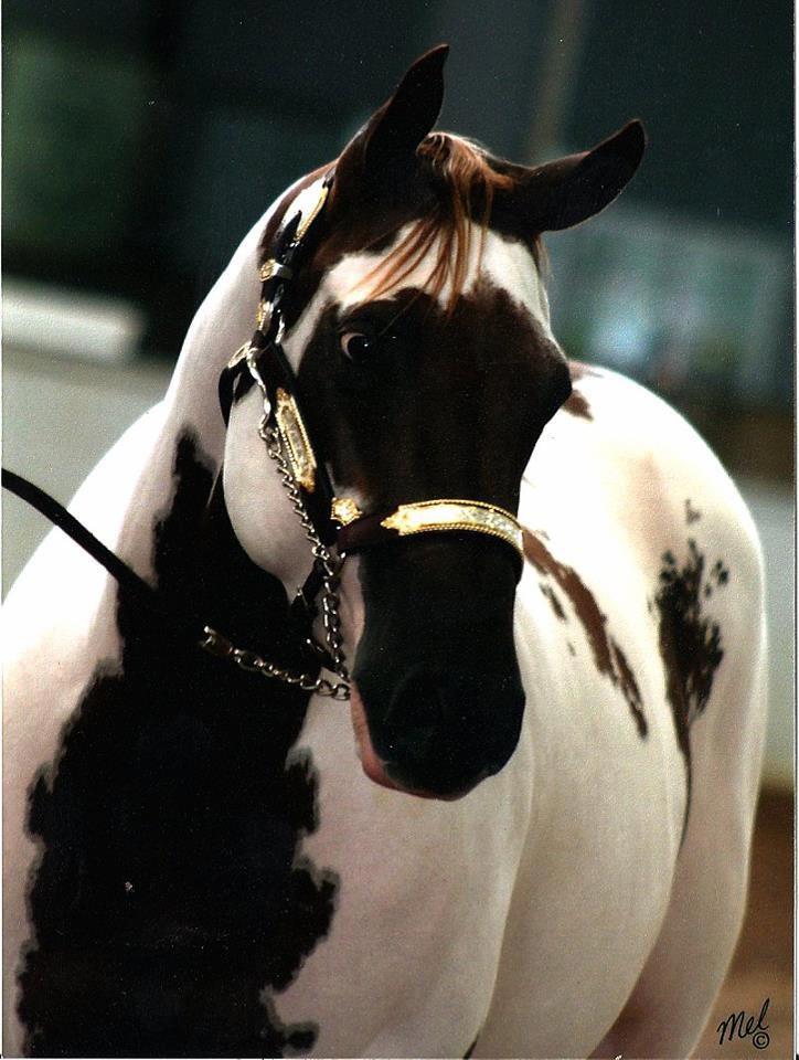 Horse Marking Aqha Face