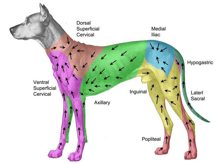 Dog Anatomy Diagram Lymph Nodes