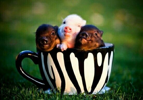 Teacup Mini Pig Breeders
