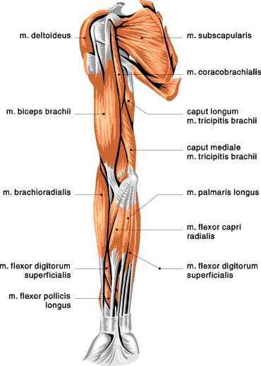 Tiger Anatomy Muscles Shoulder