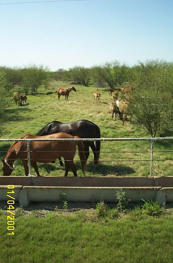 Ranch King Horses Texas