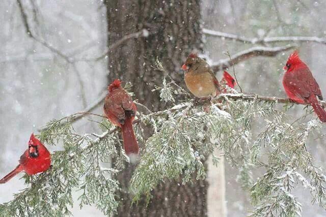 Christmas Screensavers Cardinals
