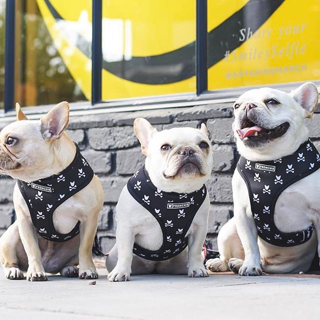 4 Puppies White Cute French Black Bulldogs And