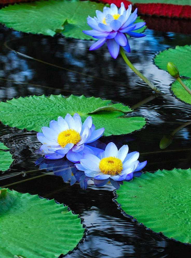 Water Lilies Sale Near Me