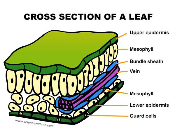 Plant Cross Unlabeled Leaf Section