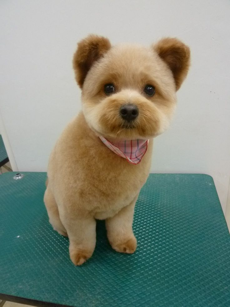 Cut Pomeranians Grooming Puppy