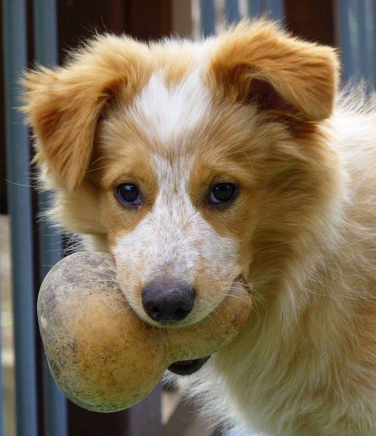 Collie Australian Shepherd Puppies Mix Border