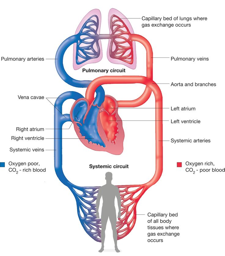 78+ images about Poster of Circulatory System ...