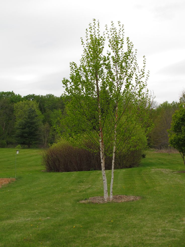 Landscaping River Birch Trees