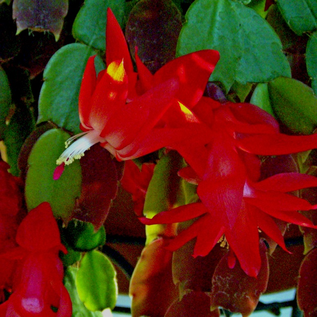 christmas cactus toxic to cats
