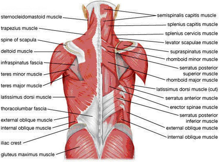 Lumbar Anatomy Muscles