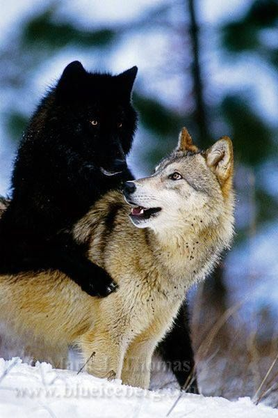 Pure Wolf Pack And Black