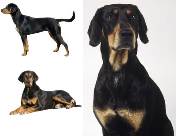 Types Hound Dogs Pets