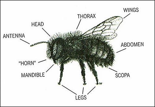 fa82cb3b6f5aaa3c34131dfb7a172897 bee diagram anatomy honey blank