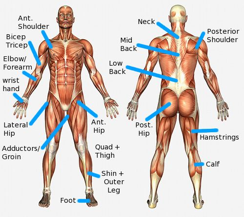 11 Major Muscle Group Diagram