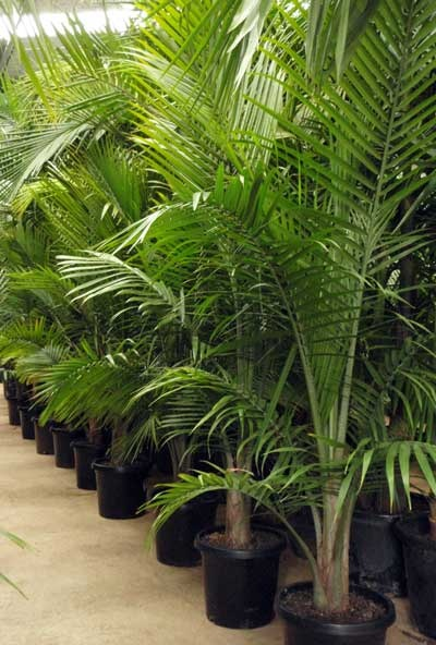 Indoor Fern Plants Sale
