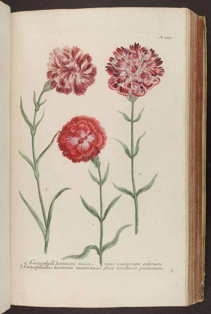 January Carnation Plant