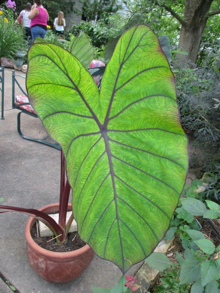 Best Kitchen Gallery: This Is The Best Colocasia Royal Hawaiian® 'blue Hawaii' That I've of Hawaiian Tropical Houseplants on rachelxblog.com