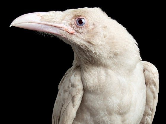 Justice For Pearl Talon White Raven Shot And Killed