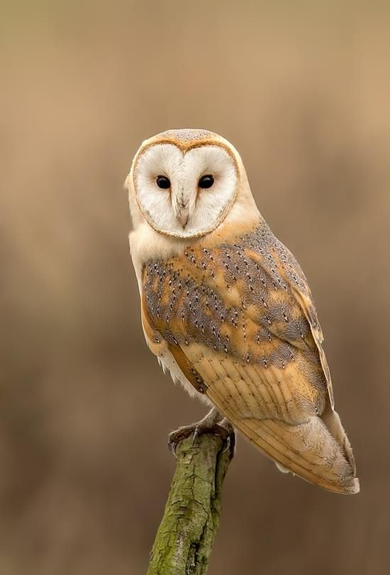 This is a barn owl, which is related to Oswin, in my book ...