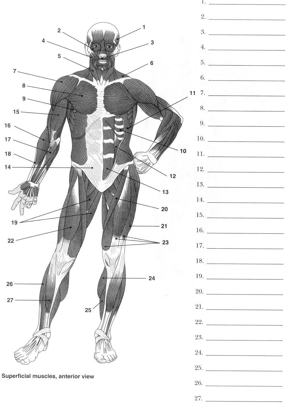 L Bel Muscles W Ksheet Body Muscles P Terest Muscles