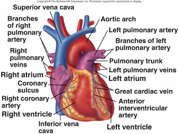 Cardiovascular system - human veins, arteries, heart ...