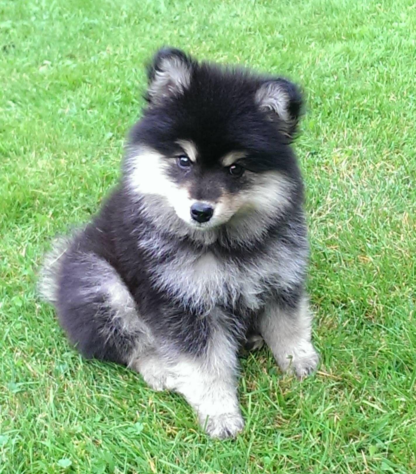Meet Otto, cute fluffy Finnish Lapphund puppy   Met ...