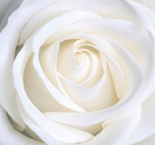 White Rose   Flowers Photo  28138842    Fanpop   White   Pinterest     White Rose   Flowers Photo  28138842    Fanpop