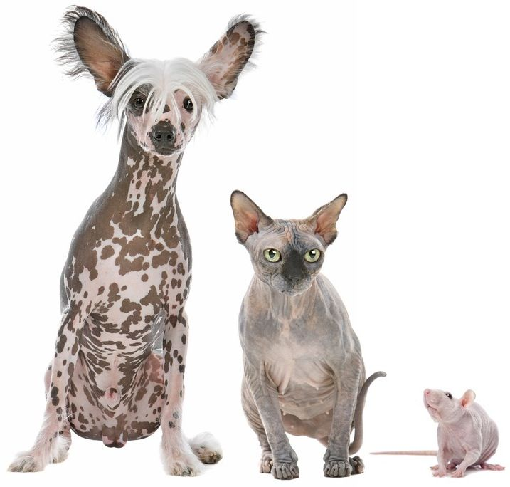 hairless cat | Hairless Cats and Dogs | Animals ...