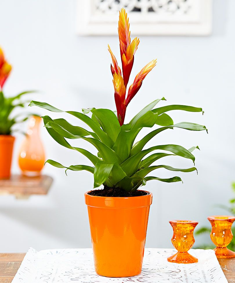 Best Kitchen Gallery: Vriesea 'carly' Bromeliaceae Pinterest Protective Packaging of Orange Tropical Flowering House Plant on rachelxblog.com