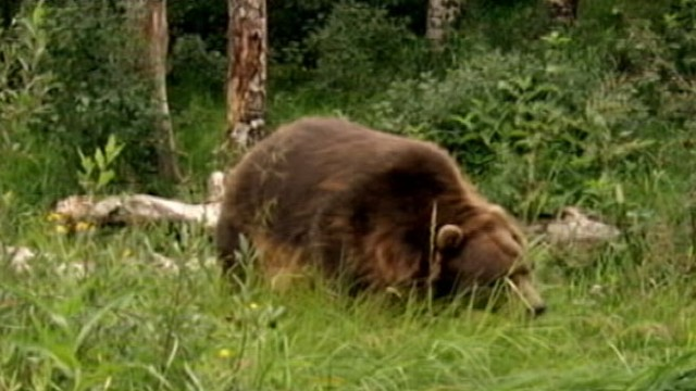 man eaten by bear - 640×360