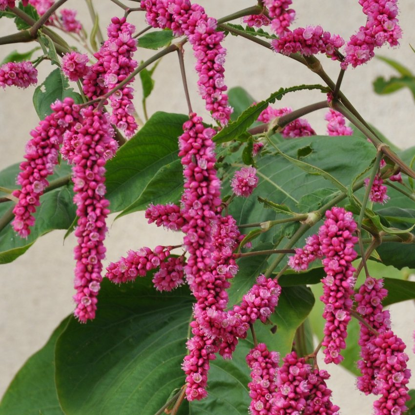 Pink Kiss Me Over The Garden Gate Persicaria Orientalis