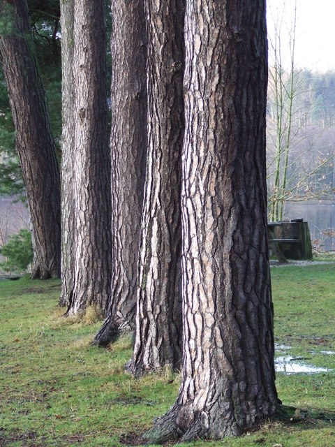 Conifer Tree Trunks At Stack Point 169 Roger Nunn Cc By Sa 2