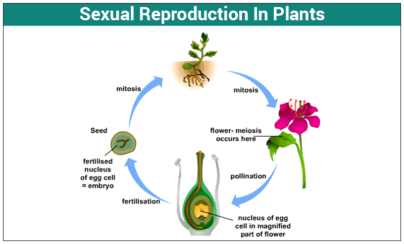 embryo protection in plants - 800×482