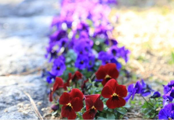 8 Winter Flowers to Brighten Your Snowy Garden   Bob Vila 8 Colorful Winter Flowers to Know   The Winter Pansy