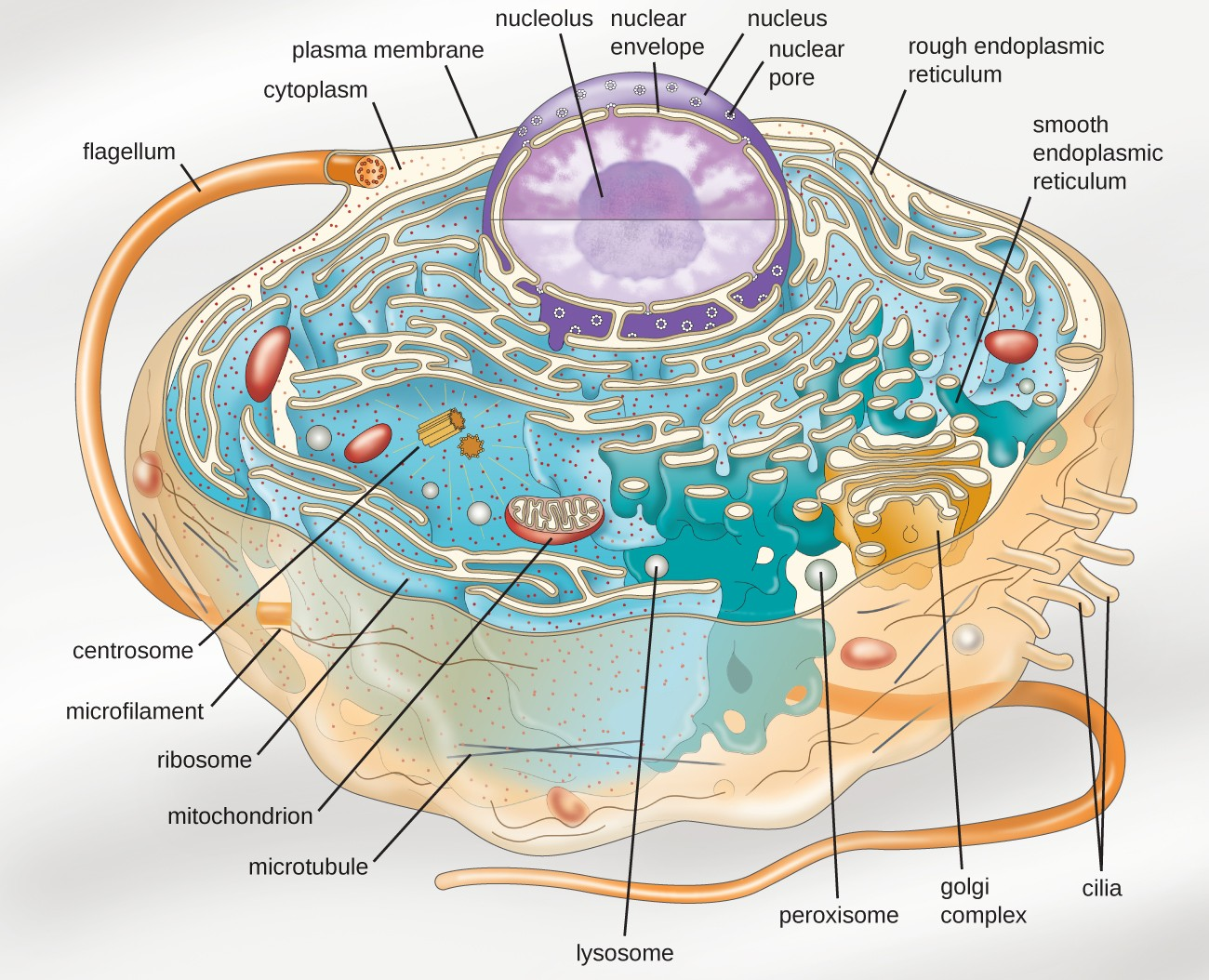 Diagram Of Eukaryotic Cell Pdf Organelles With 3 Front Yard Landscaping Ideas Interior Membrane A Full Hd Maps Locations Another World Model Blood