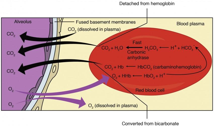 Gas Exchange | Anatomy and Physiology II