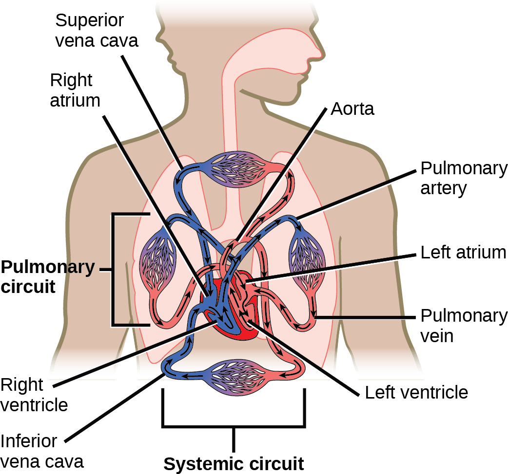Systemic Blood Vessels Circulation Arterial Schematic