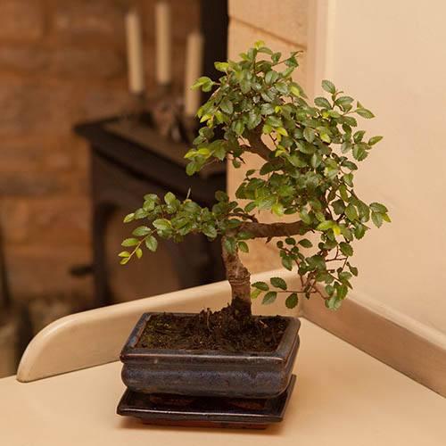 Bonsai Tree Sale Amazon