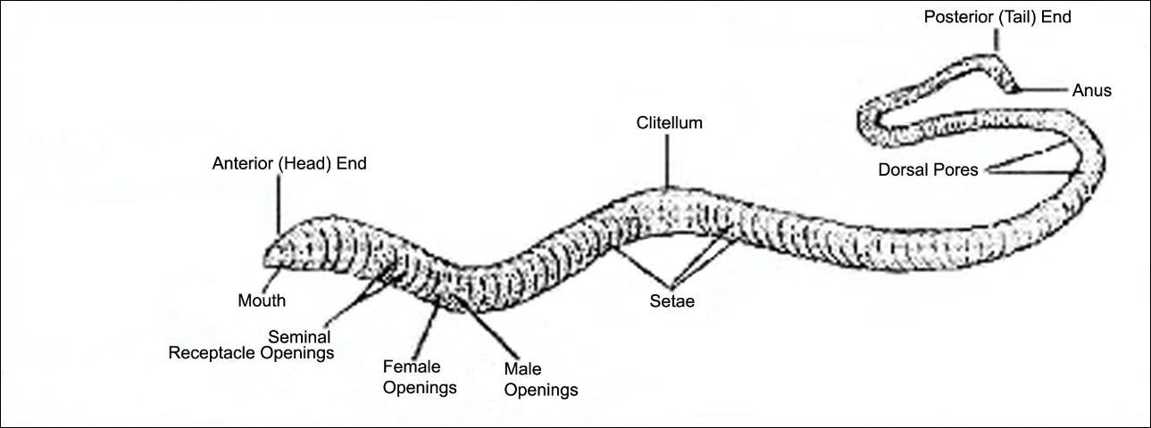 External Earthworm Diagram Labeled