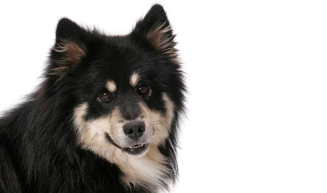 Finnish Lapphund Breed Information