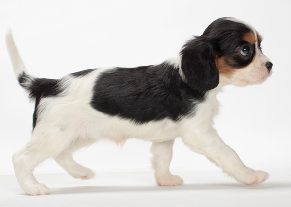 Charles Puppies Cavalier King Much How Spaniel Are