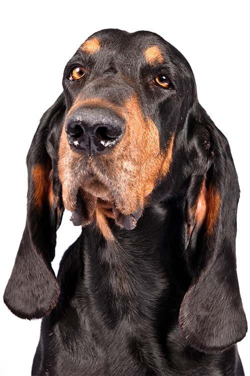 Black and Tan Coonhound Dog Breed Information