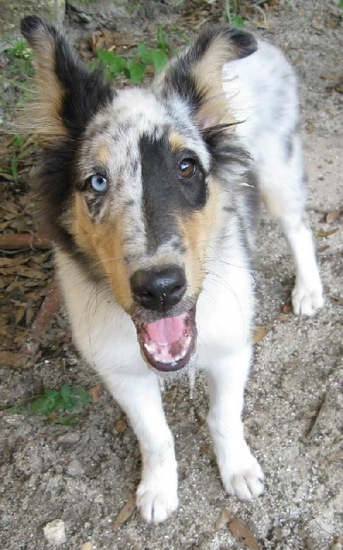 Rough Collie Rescue Dogs