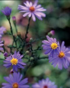 All About Asters   FineGardening  Bluebird  smooth aster  Photo Illustration  Bill Johnson