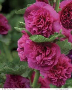 25 Robust Summer Bloomers   FineGardening Give a summer patio an appealing view