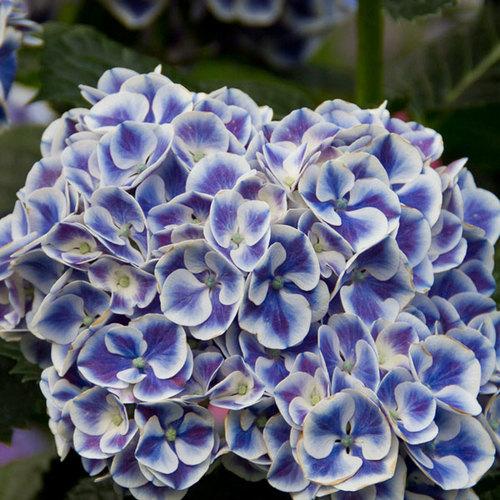 Dwarf Nikko Blue Hydrangea