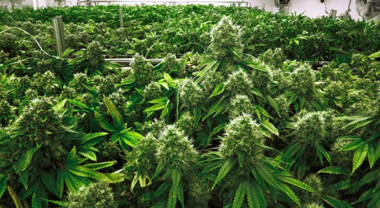 Cannabis Investing and the Quest for Social Responsibility
